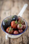 Old tomato varieties in a colander