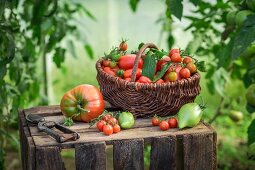 Assorted tomatoes in a wicker basket on a wooden crate