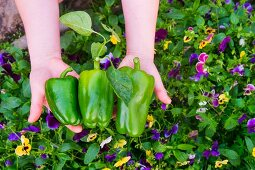 Hands holding green peppers over a bed of flowers
