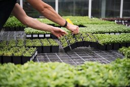 Microgreens at the ECF Farm in Berlin, Germany