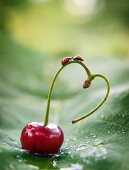 Ladybugs on heart-shaped cherry stem