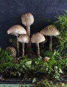 Parasol mushrooms on moss