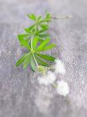 Frischer Waldmeister (Blätter und Blüten)