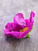 Wildrosenblüte (Nahaufnahme)