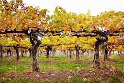 Autumnal grape vines at Granit Springs vineyard (Somerset, California)