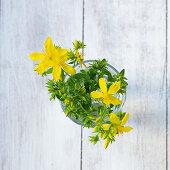 Johanniskraut mit Blüten