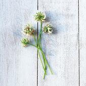 weiße Kleeblüten