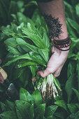 Wild garlic being harvested