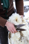 A man with freshly shorn sheep's wool and shearing blades