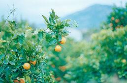 Portuguese oranges growing on a tree (Algarve region)