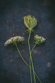 Stems of Queen Anne's lace on dark surface