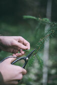 Cutting fir tips to make fir-tip tea
