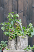 Gooseberries in an old bottle basket with a handle