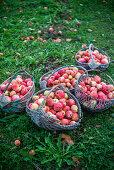 Baskets of apples in garden