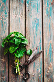 Fresh mint with vintage scissors on a wooden background