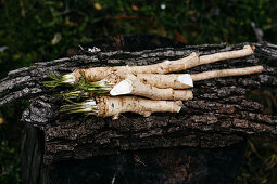 Freshly harvested horseradish on a pieces of bark in a garden