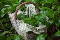 Fresh wild garlic in a basket on a forest floor