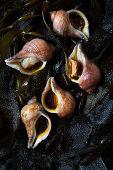 Raw snails on seaweed