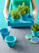 Oregano in blue flower pots