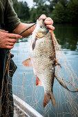 A freshly caught carp bream