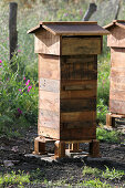 A French style hive housing with wild swarm