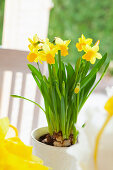 Potted, flowering narcissus decorating table