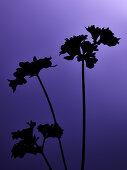 Curly leaf parsley on lilac