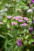 Sudeten-Schafgarbe (A. millefolium ssp. sudetica)