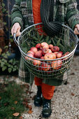 Woman holds a wire basket with freshly harvested organic apples in her hands
