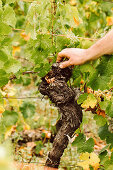A vine being inspected