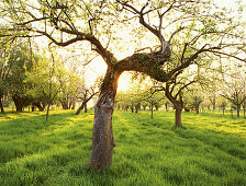 Blooming apple trees in a pastureland at river Rhine, Dusseldorf, North Rhine-Westphalia, Germany