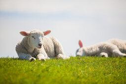 lambs, sheeps, dyke, Schleswig Holstein, Germany