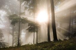 Nebel im Wald am Laacher Kopf, bei Maria Laach, Eifel, Rheinland-Pfalz, Deutschland