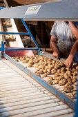 potato harvest, sorting machine, crop, harvest, yield, harvesting, farmer, organic, agriculture, farming, Bavaria, Germany, Europe