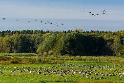 Kranich Ablenkungsfutterstelle bei Günz, Ostseeküste, Mecklenburg-Vorpommern, Deutschland
