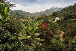 Landschaft bei Kaffee Plantage Hacienda Venecia bei Manizales, UNESCO Welterbe Kaffee Dreieck (Zona Cafatera), Departmento Caldas, Kolumbien, Südamerika