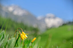 Wild tulips with mountains out of focus in background, Giro di Monviso, Monte Viso, Monviso, Cottian Alps, Piedmont, Italy