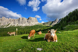 Cattle standing and laying on meadow in front of rock faces, Monte Formin in background, Dolomites, UNESCO World Heritage Site Dolomites, Venetia, Italy