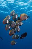 Schwarm Halsband-Falterfische, Chaetodon collare, Felidhu Atoll, Indischer Ozean, Malediven