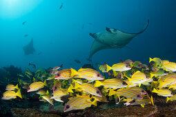 Riff-Manta, Manta alfredi, Ari Atoll, Indischer Ozean, Malediven