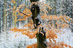 Buchen in einem Wald im Münsterland, Nordrhein-Westfalen, Deutschland