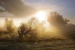 Alte Weide im Nebel, Oderbruch, Brandenburg, Deutschland