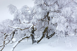Birke, Winterlandschaft am Hohen Hagen nahe Winterberg, Sauerland, Nordrhein-Westfalen, Deutschland