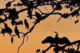 Birds sit in a tree at dusk, Kununurra, Western Australia, Australia