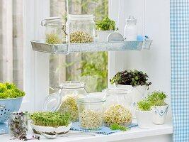 Verschiedene Keimsprossen am Küchenfenster
