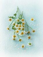 Fresh camomile flowers