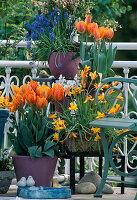 Frühlingsbalkon mit Tulipa 'Princess Irene', Tulipa clusiana