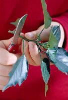Stecklingsvermehrung von Hibiscus / Roseneibisch 2/8