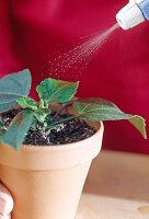 Stecklingsvermehrung von Hibiscus / Roseneibisch 6/8