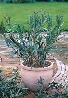Oleander zurückschneiden